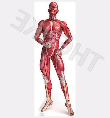 Anatomy Muscle System - Advanced Graphics Life Size Cardboar